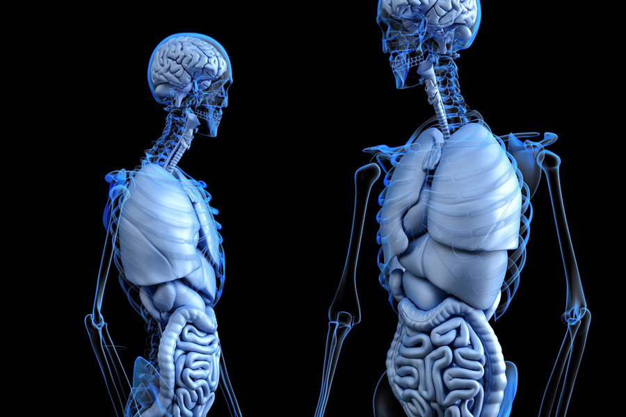 3d model of human anatomy